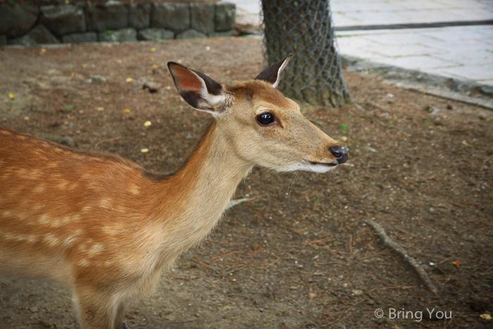奈良鹿-6