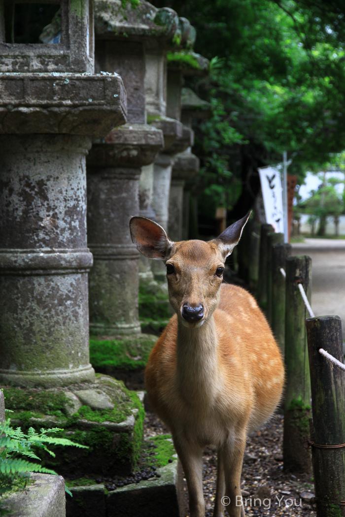 奈良鹿-88