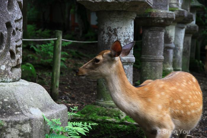 奈良鹿-89