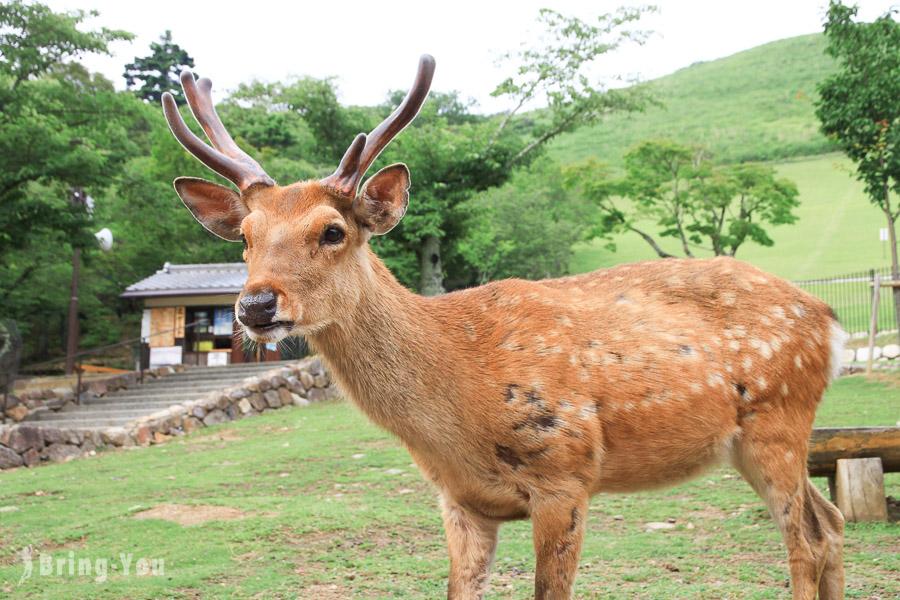 【奈良旅遊景點】奈良公園、東大寺:令人尖叫連連的進擊小鹿斑比