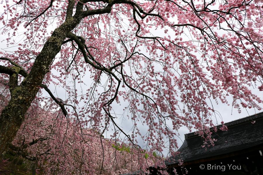 arashiyama-travel-sakura
