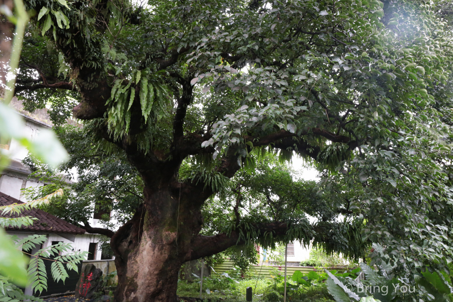 nantou-old-tree-2