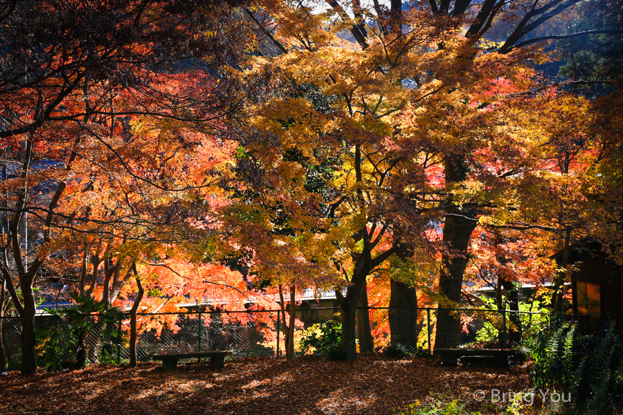 tokyo_mountain_maple_leaf