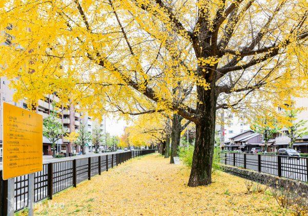 【京都銀杏】堀川通銀杏大道,秋天絕美金黃地毯就在堀川今出川
