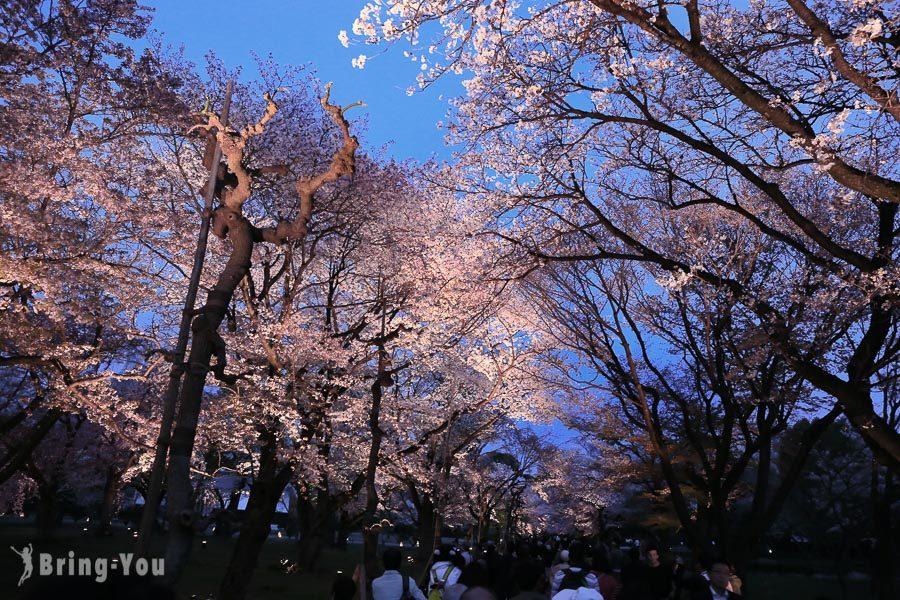 京都二条城夜櫻