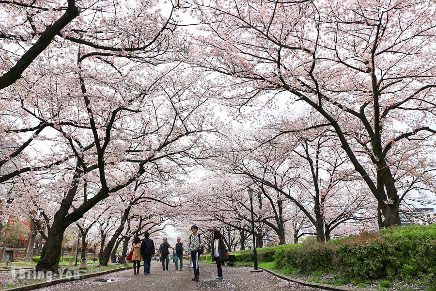 京都賞櫻景點