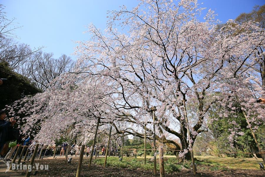【東京賞櫻】六義園櫻花:枝垂櫻與大名庭園點燈