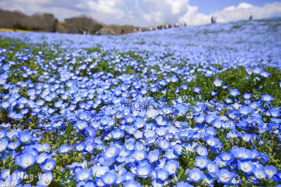 【茨城縣】國營常陸海濱公園,五月藍色夢幻粉蝶花山丘賞花一日遊