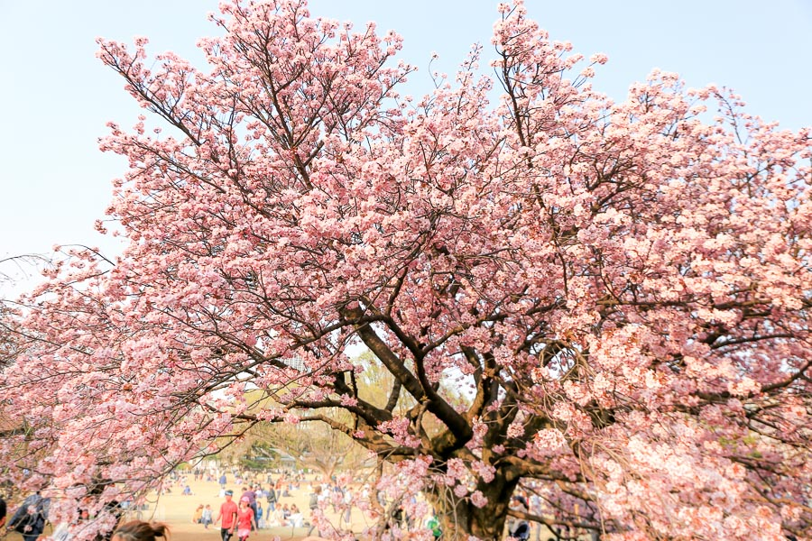 【東京賞櫻景點】新宿御苑+明治神宮外苑:滿開櫻花樹下的野餐時光