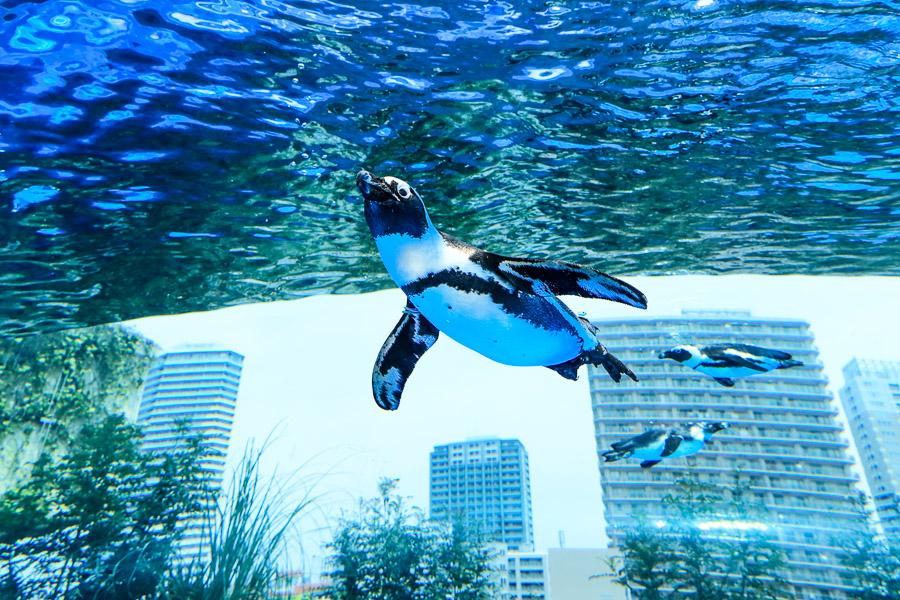 【東京池袋】陽光水族館,走進夢幻水母隧道、與企鵝在空中邂逅
