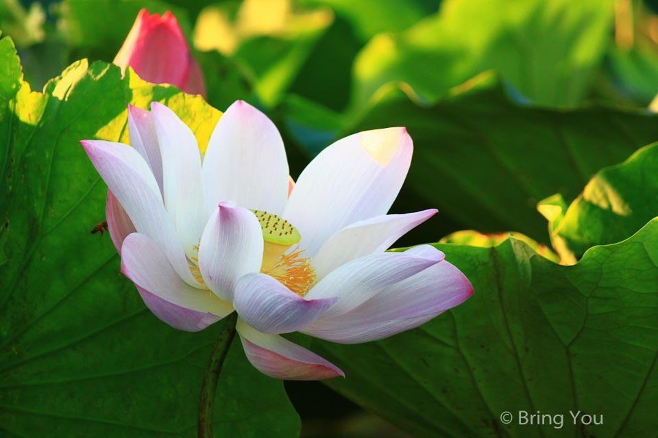 白河蓮花-2