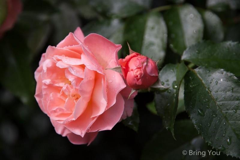 富士山河口湖音樂盒之森美術館內,薔薇等各種花卉齊放,歐式庭園之美,加以精細的大型音樂盒演奏,讓人久久不願離去