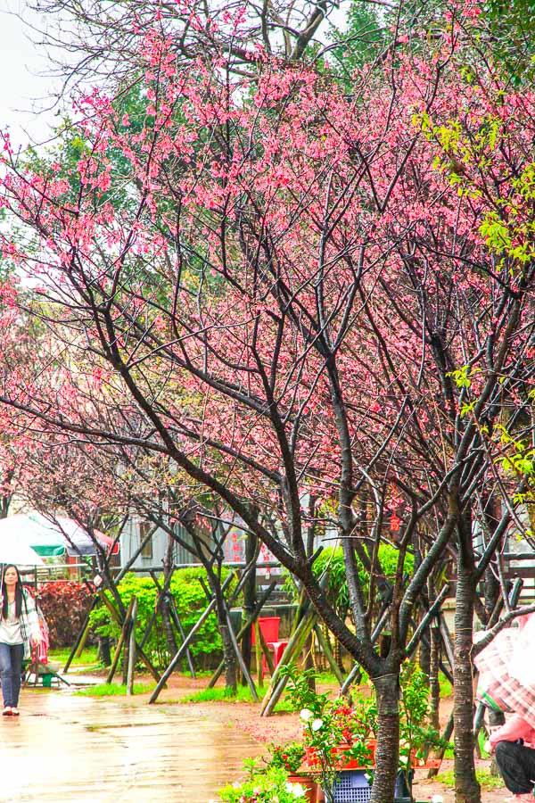 金山賞櫻花