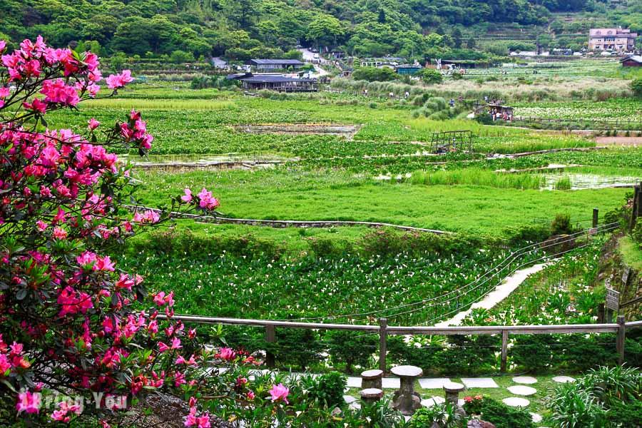 陽明山竹子湖海芋繡球花季