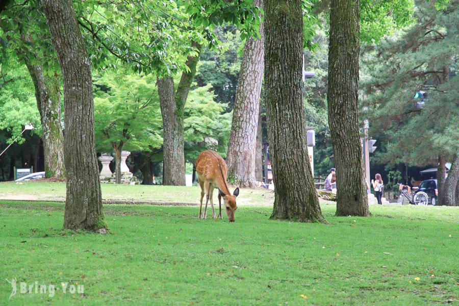 【2020奈良一日遊旅遊路線】奈良景點&交通攻略:來去看小鹿、春日大社、奈良町