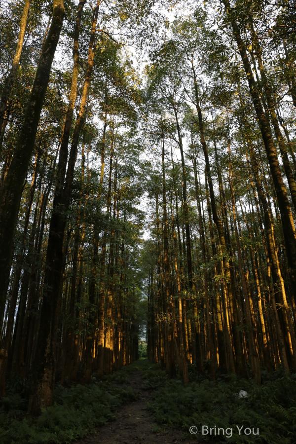 nantou-forest-3