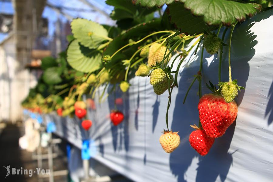 【新潟景點|越後湯澤採草莓體驗】日本越後姬草莓半小時放題吃到飽!