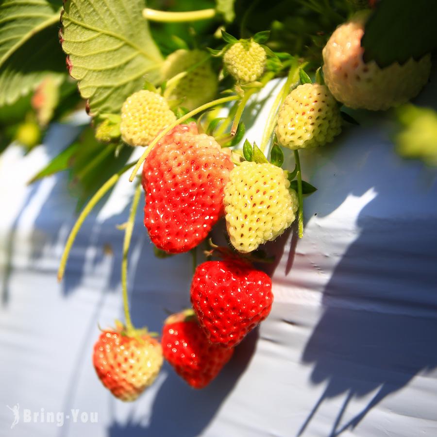 越後姬草莓