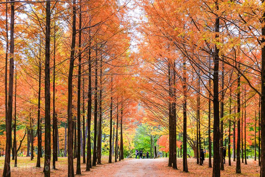 【首爾郊區景點】南怡島、小法國村、江村鐵道、晨靜樹木園一日遊(KKday參團心得評價)