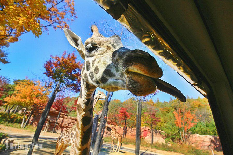 首爾愛寶樂園長頸鹿