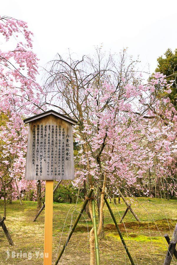 平安神宮櫻花