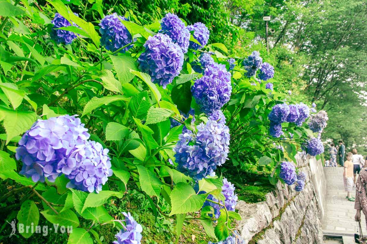 清水寺紫陽花
