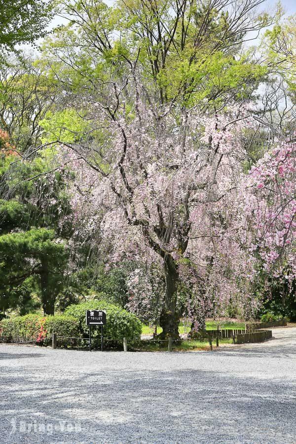 京都二条城櫻花