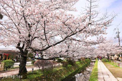 【京都賞櫻景點】哲學之道:春天櫻花、夏天綠葉各有風情