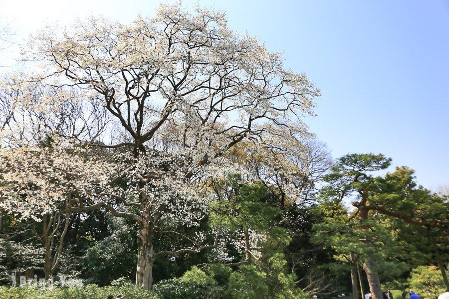 六義園櫻花