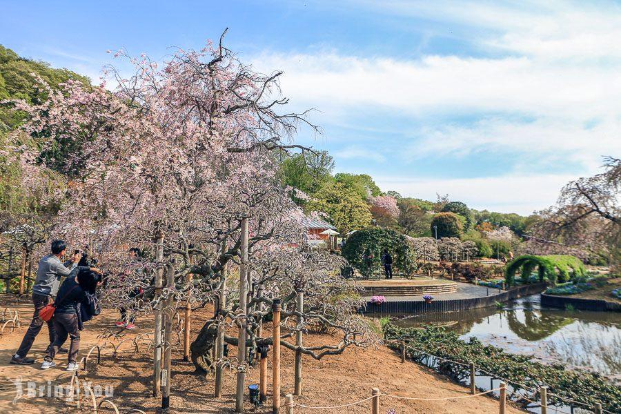 足利花卉公園大紫藤