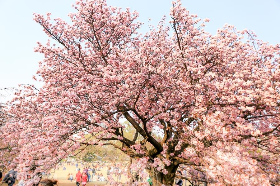 【東京賞櫻景點】新宿御苑:滿開櫻花樹下的野餐時光