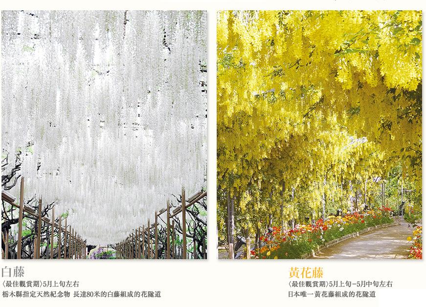 足利花卉公園黃花藤
