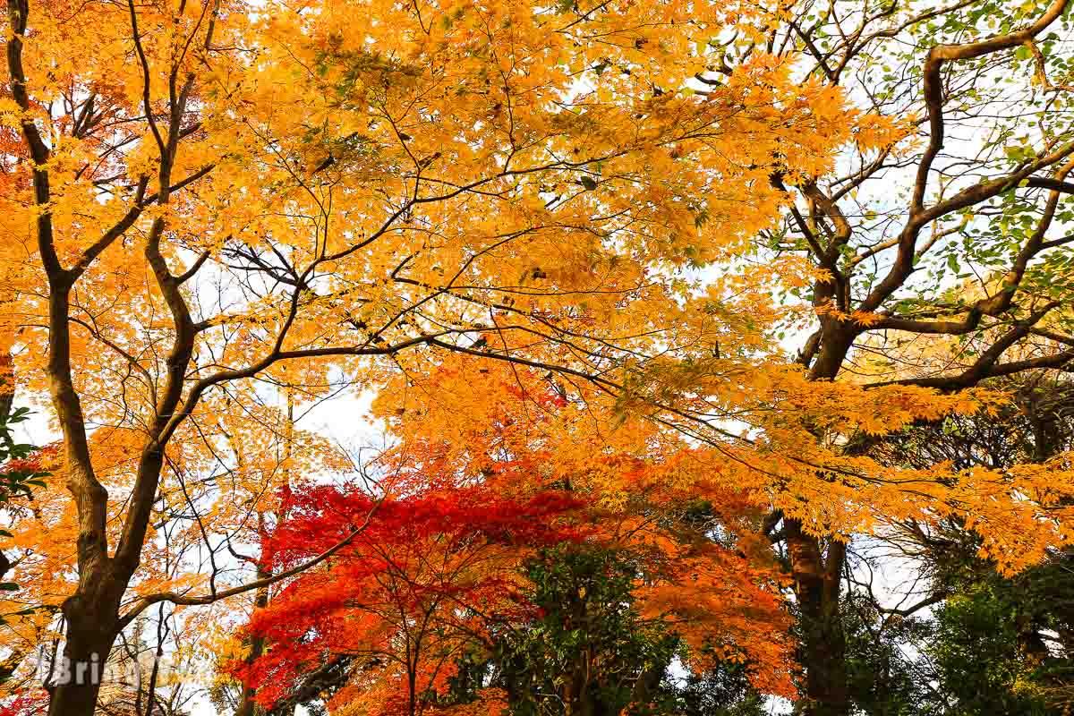 東京上野公園楓葉