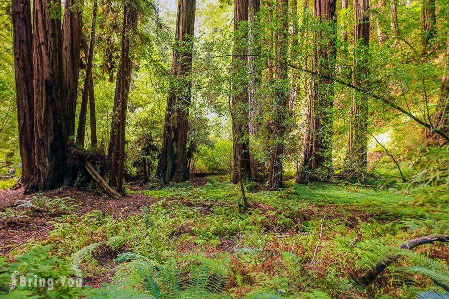 【舊金山近郊景點】穆爾紅木林國家公園保護區 Muir Woods