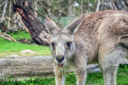 【澳洲墨爾本】月光野生動物園 Moonlit Sanctuary Wildlife Park