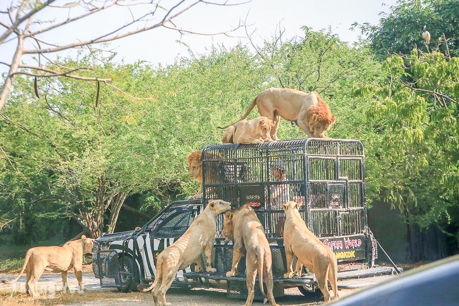 【曼谷】Safari World 賽佛瑞野生世界包車一日遊,野生動物園看獅子餵食秀