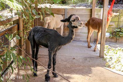 【澳洲雪梨】塔龍加動物園(Taronga Zoo)渡輪交通、門票、抱無尾熊攻略