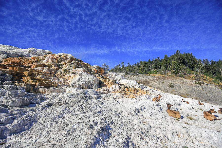 【黃石國家公園西北區景點】諾里斯間歇泉盆地、猛獁溫泉看小鹿、黃石瀑布、海登山谷野牛群Bison觀賞點